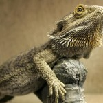 10 Important Facts You Need to Know About Bearded Dragons