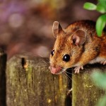What to Use for Mouse Bait: The Factors to Consider